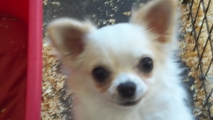 pet quality AKC registered male chihuahua puppies and adults for sale ...